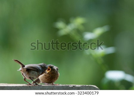 red robin and baby chick - stock photo