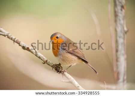red robin bird on a branch - stock photo
