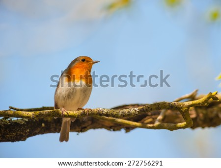 red robin bird perched in the shade on a tree branch  - stock photo