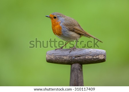 Red robin (Erithacus rubecula) perched on the handle of a shovel. This bird is a regular companion during gardening pursuits - stock photo