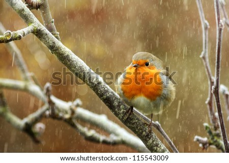 Red robin in the snow in winter - stock photo