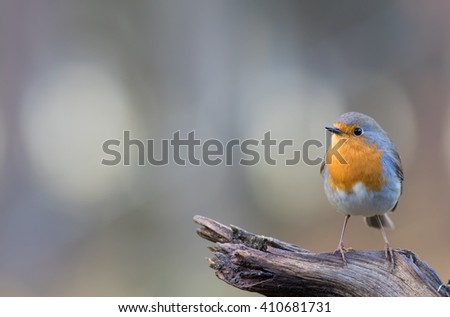Red Robin on a branch. - stock photo