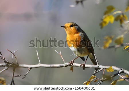 Red robin on a branch, Erithacus rubecula  - stock photo