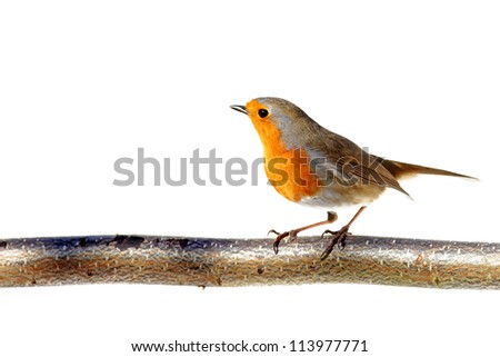 red robin on a branch, standing sideways - stock photo