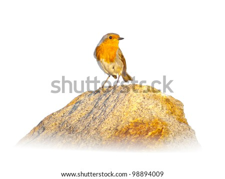 Red robin on a rock, against a white background - stock photo