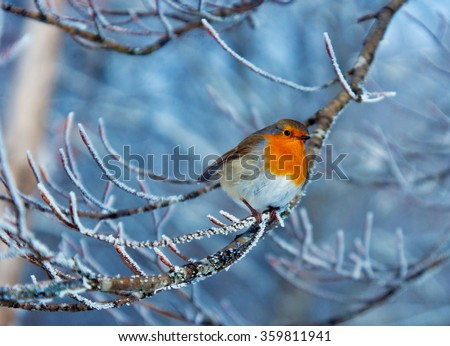 Red robin on the frozen branch - stock photo