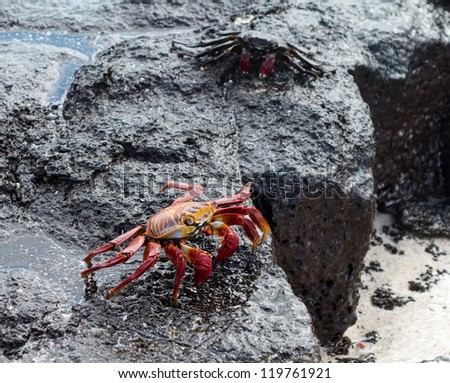 Red rock, Sally Lightfoot or Grapsus crab on volcanic coast of Galapagos islands