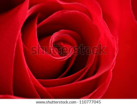 red rose - stock photo