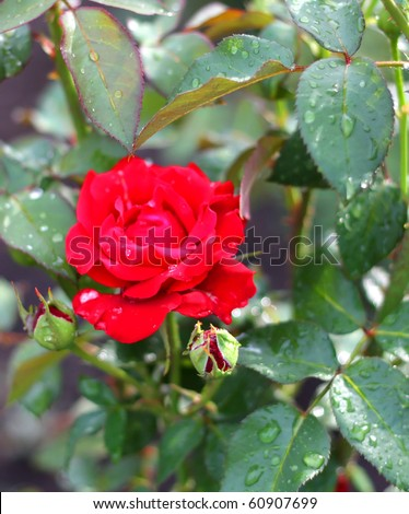 Red rose. After rain. Shallow DOF. - stock photo