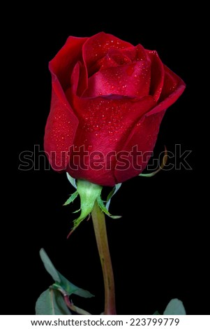 Red rose and drops isolated on black background. - stock photo