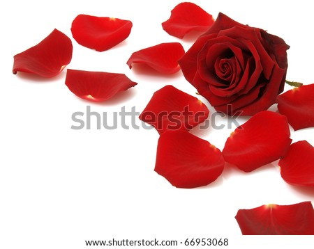 Red rose and petals - stock photo