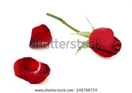 Red rose and petals of rose. Give rose to darling in valentine's day - stock photo