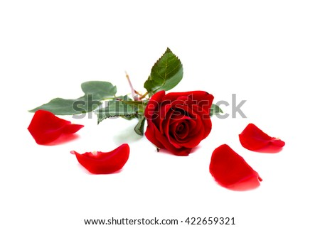 Red rose and petals on a white background with space for text - stock photo