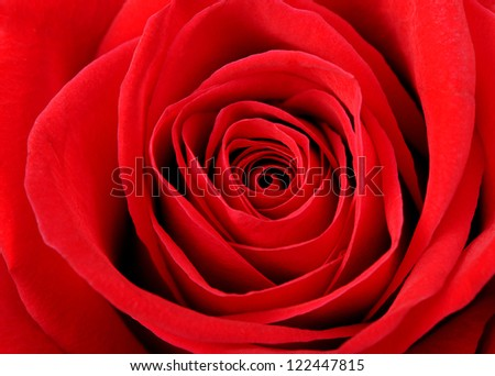 Red rose background closeup.Detail photo flower.