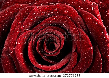 Red rose background, dew drops on the gentle fresh flower petals, romantic greeting card for Valentine day - stock photo