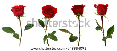 red rose bloom branch isolated