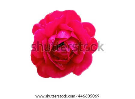 red rose blossom isolated on a white background, beautiful bud, Selective focus - stock photo
