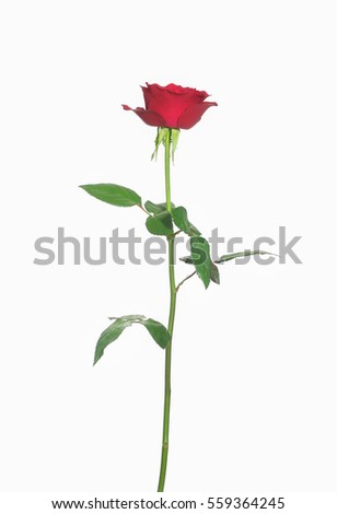 red rose blossom isolated-white background
