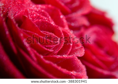 Red rose bouquet with water drops. close-up.