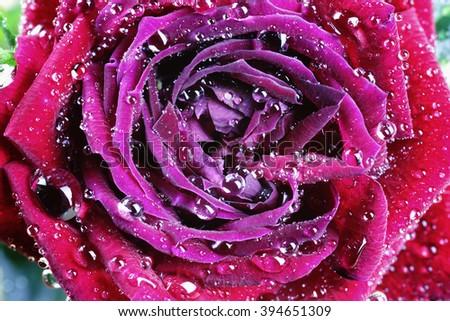 red rose bud drop macro - stock photo