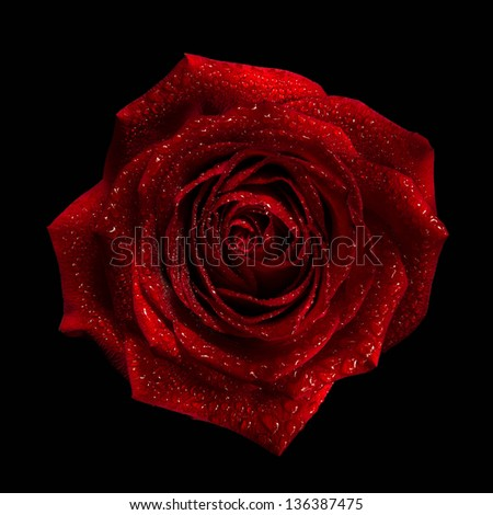 red rose bud with water drops on the petals on a black background - stock photo