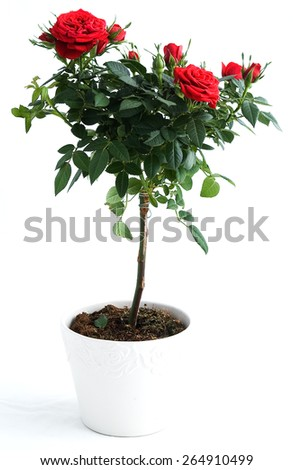 Red rose bush, isolated on a white background - stock photo