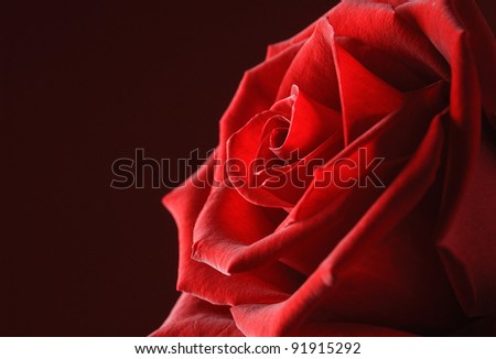 Red rose close up