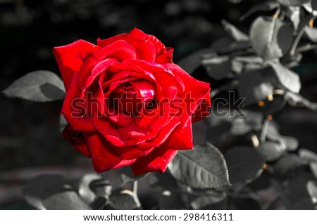 Red Rose On Black And White Background