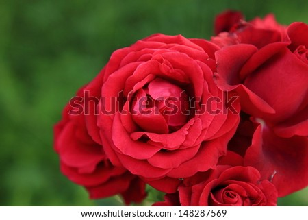 Red rose close up outside