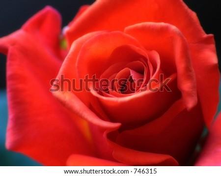 Red rose closeup - stock photo