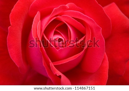 Red rose closeup background - stock photo