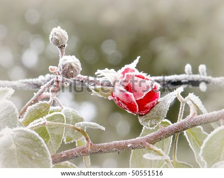 Red rose covered with morning frost. Photo taken in October. - stock photo