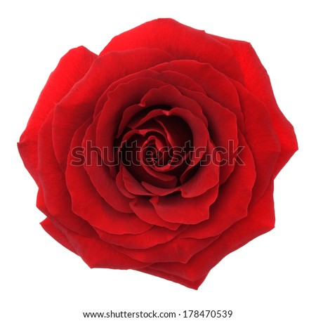 Red rose. Deep focus. No dust. No pollen.  - stock photo