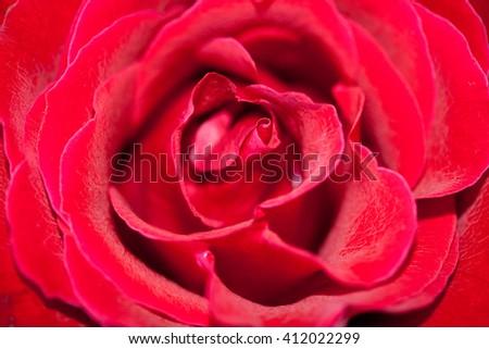 red rose flower - stock photo