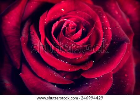 Red Rose Flower close up background. Beautiful Dark Red Rose closeup. Symbol of Love. Valentine card design - stock photo