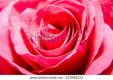 Red rose flower, close up, texture