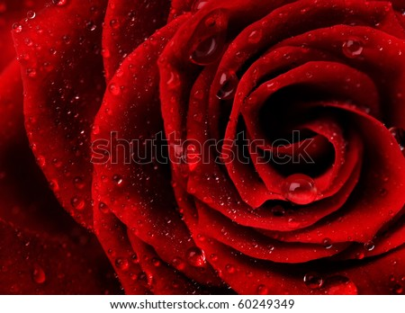Red Rose Flower closeup