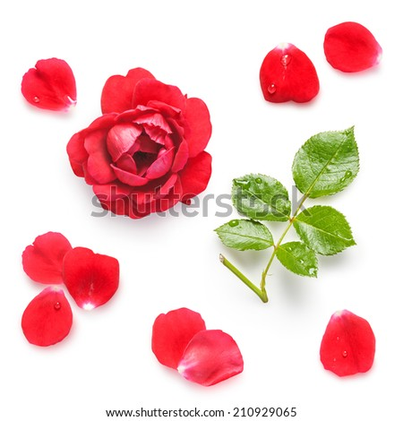Red rose. Flower head, stem, leaves and petals collection on white background. Fresh climbing rose with water drops. - stock photo