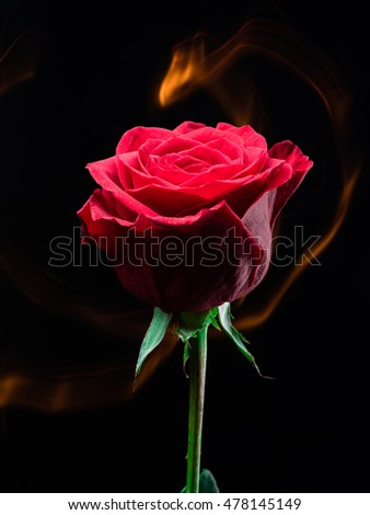 Red rose flower isolated on black background with fire