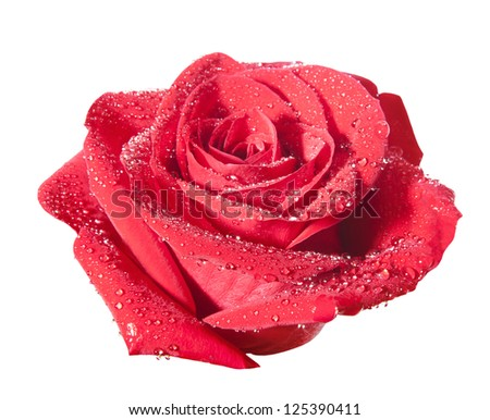 Red rose flower with path isolated on the white background