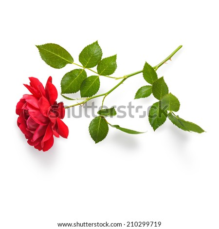 Red rose flower with stem and leaves. Climbing roses in summer garden. Single object isolated on white background. Clipping path - stock photo