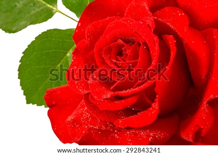 Red rose flower with water drops and green leaves over white background - stock photo