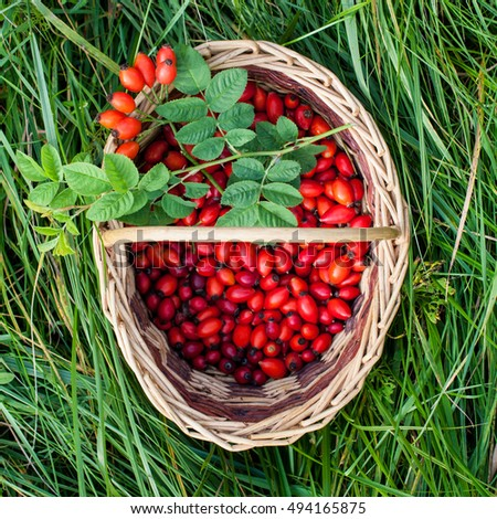 Red rose hips in wicker picnic basket on green grass. Autumn concept.