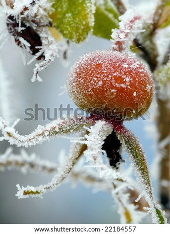 Red rose-hips macro in winter under frost in the cold - stock photo
