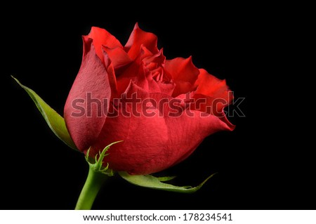 Red rose in black background - stock photo