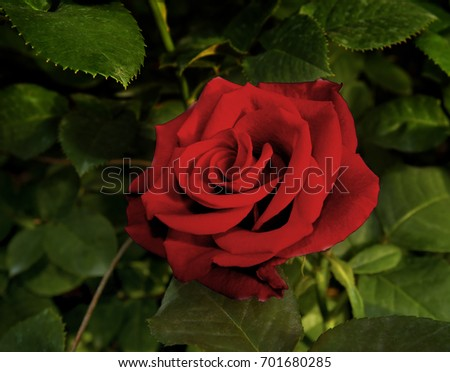 red rose in full bloom
