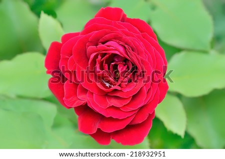 Red rose in garden, close up view - stock photo