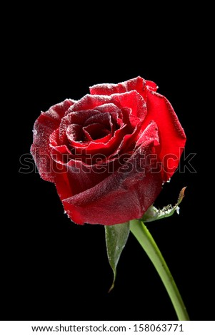 Red rose in ice, isolated on black