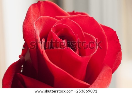 Red rose in strict close up, background defocused - stock photo