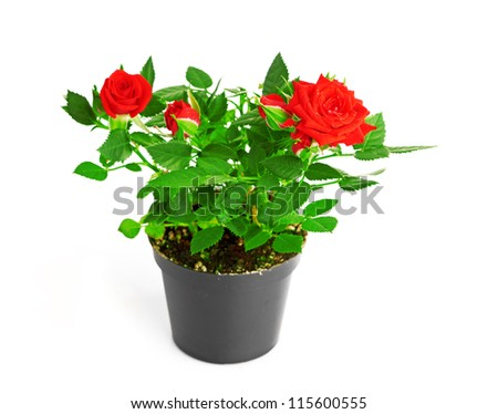 Red Rose in the flower pot